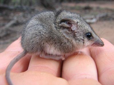 Dropbox_Marsupial-Mouse